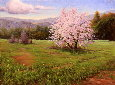 Almond Blossoms, Mountain View